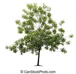 zielony, jesion, drzewo