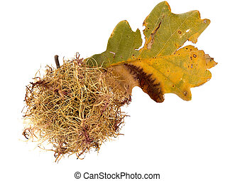 Hairy oak gall with leaf closeup - white background -...