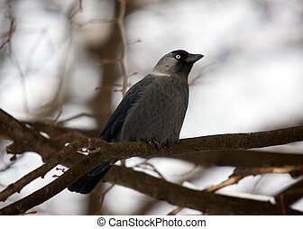 jackdaw - the jackdaw sitting on branch of tree
