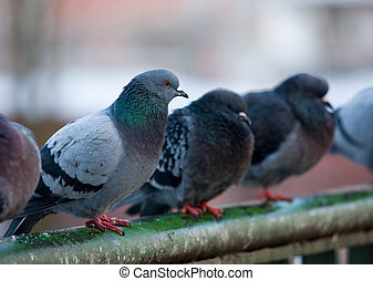 pigeons on railings - flock of urban pigeons on bridge...