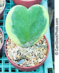 Heart-shaped plant in a flower pot.