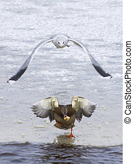 gull chasing a duck