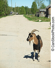 goat in the village