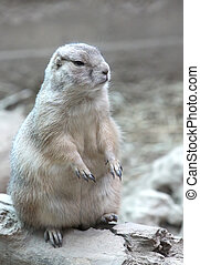 Prarie Dog genus Cynomys sitting and staring to its left