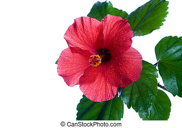 Hibiscus rosa-sinensis red - Macro of China Rose flower on...