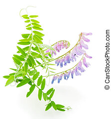 mouse pea, Vicia cracca