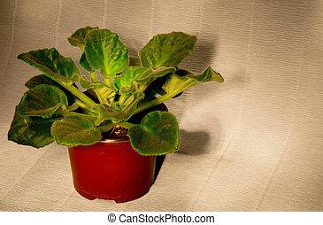 violet in a pot