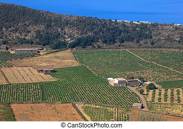 Plantation, Pantelleria - View of zibibbo Plantation in...
