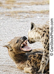 Creepy kindness - Female Spotted hyena greets her cub coming...