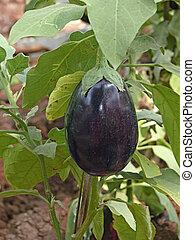 Brinjal, Eggplant. Scientific Name: Solanum melongeana L.