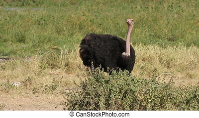 Foraging ostrich - Male ostrich Struthio camelus foraging on...