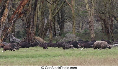 Grazing African buffalos - Herd of African buffalos...