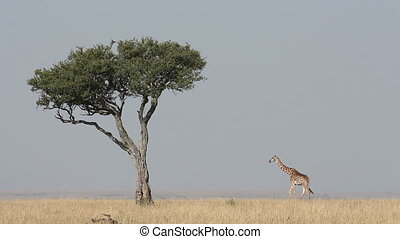 Masai giraffe and tree - Masai giraffe (Giraffa...