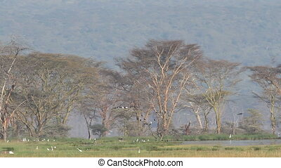 Waterbirds, Lake Nakuru - Waterbirds congregating at Lake...
