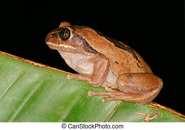 Brown-backed tree frog (Leptopelis mossambicus), South...