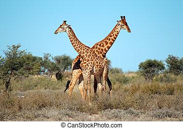 Giraffe bulls - Two giraffe bulls (Giraffa camelopardalis),...