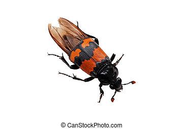 Burying beetle Nicrophorus vespilloides - The Burying beetle...