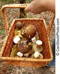 Basket of ceps harvested from a forest in the early morning