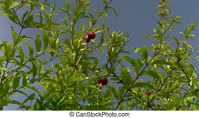 pomegranate on a branch in the wind