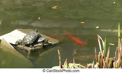 Turtles and fish - turtles in the pond with fish
