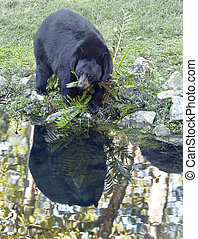 Black Bear and Pond Reflection - A mature Black Bear,...