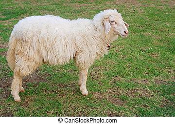 mouton, manger, herbe, champ