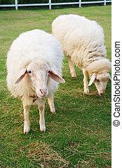 sheep, lindo, dos, campo