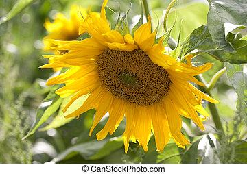 Sonnenblume - als Nahaufnahme