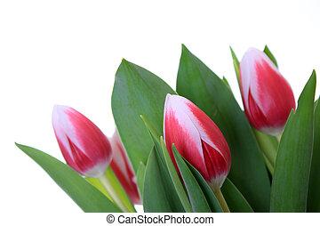 Tulpen - freigestellt