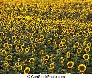 Sunflower field - Field of many sunflowers