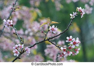 cherry blossom, Chiang Mai, Thailand - cherry blossom,...