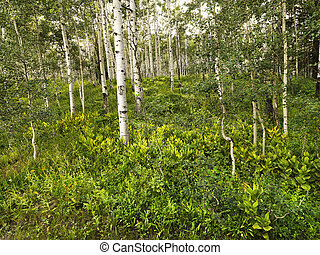 Aspen trees in forest.