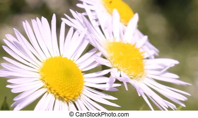 three daisies close up