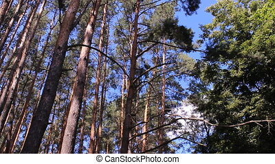 pine forest   - pine forest treetops