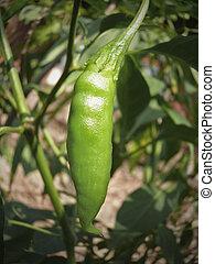 Plant of Common Chilies, Capsicum annuum