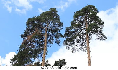 two pines - Two pine trees swaying in the wind