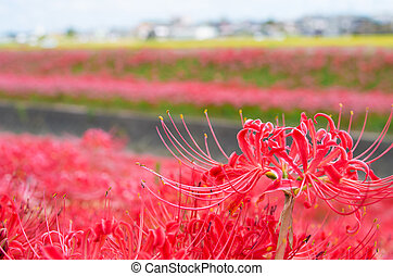 vivid red lycoris - this photo is taken in Aichi