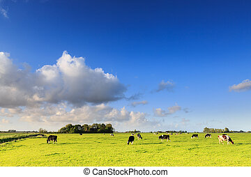 Cows grazing on a grassland in a typical dutch landscape