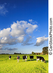 Cows grazing on a grassland in a typical dutch landscape on...