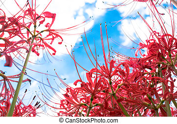 red lycoris under blue sky - this photo is taken in Aichi