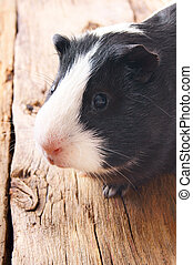 Guinea pig - Guinea pig on wooden board