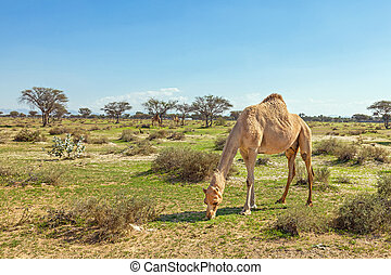Camels in the UAE - Camels eating grass in the desert in the...
