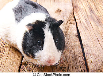 Guinea pig . - Guinea pig on wooden board.