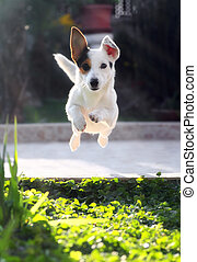 Jumping jack russell terrier for thrown ball aport.