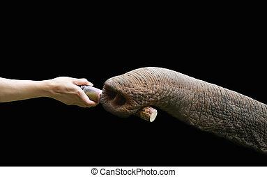 hand feed sugarcane to elephant nose