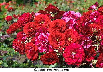 jardín, rojo, rosas