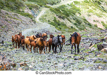 Herd of horses going up in mountains - Herd of beautiful...