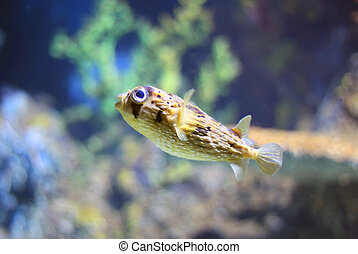 Diodontidae - Photo of porcupinefish in tank