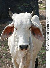cow ,Thailand