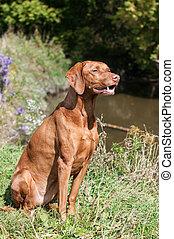 Vizsla Dog Outside in Autumn - A Vizsla dog sits on the bank...